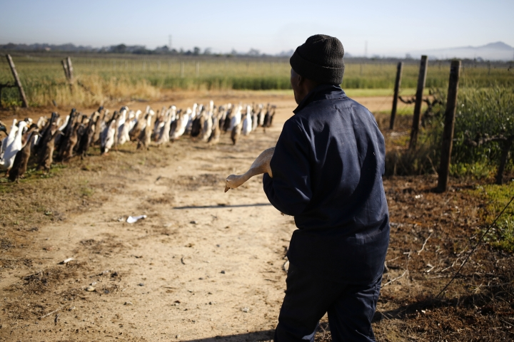In this photo taken on Wednesday, Aug. 10, 2016, duck handler walks with his flock next to a vineyards at the Vergenoegd wine estate on the outskirts of Stellenbosch, South Africa, This wine farm is winning praise from environmentalists for using Indian runner ducks instead of chemicals to eradicate pests like snails and bugs from its vineyards. (AP Photo/Schalk van Zuydam)