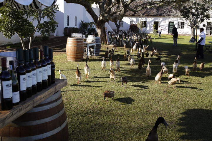 In this photo taken on Wednesday, Aug. 10, 2016, ducks walk past bottles of wine set out for guests on their why to vineyards at the Vergenoegd wine estate on the outskirts of Stellenbosch, South Africa, This wine farm is winning praise from environmentalists for using Indian runner ducks instead of chemicals to eradicate pests like snails and bugs from its vineyards. (AP Photo/Schalk van Zuydam)