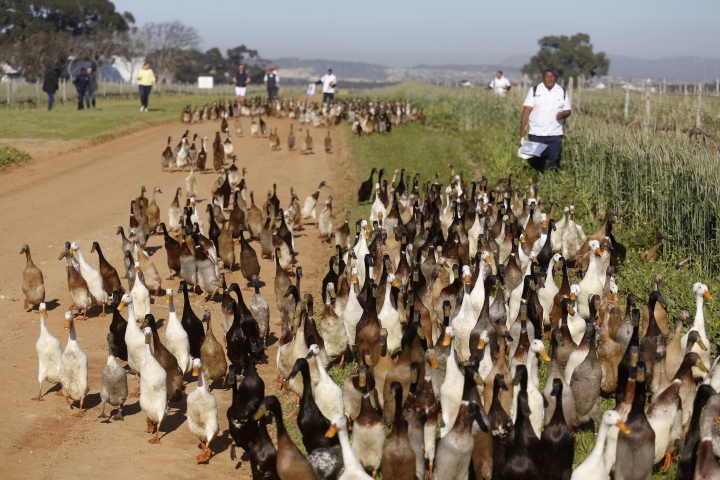 In this photo taken on Wednesday, Aug. 10, 2016, ducks are being herded by duck handlers, right, towards a vineyards at the Vergenoegd wine estate on the outskirts of Stellenbosch, South Africa, This wine farm is winning praise from environmentalists for using Indian runner ducks instead of chemicals to eradicate pests like snails and bugs from its vineyards. (AP Photo/Schalk van Zuydam)