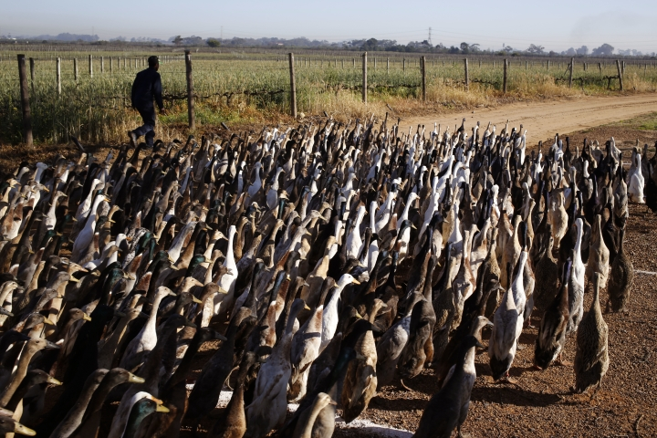 In this photo taken on Wednesday, Aug. 10, 2016, Duck handler, left, walk besides his flock next to a vineyards at the Vergenoegd wine estate on the outskirts of Stellenbosch, South Africa, This wine farm is winning praise from environmentalists for using Indian runner ducks instead of chemicals to eradicate pests like snails and bugs from its vineyards. (AP Photo/Schalk van Zuydam)
