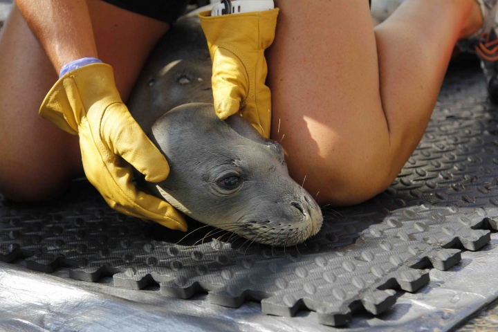 This August 2016 photo provided by the National Marine Fisheries Service shows a prematurely weaned Hawaiian monk seal pup being restrained by a veterinarian so he may be fed a mashed fish formula aboard the research vessel Oscar Elton Sette in Kailua-Kona, Hawaii. Federal wildlife biologists are taking four malnourished Hawaiian monk seals to the Big Island's monk seal hospital. (National Marine Fisheries Service via AP)