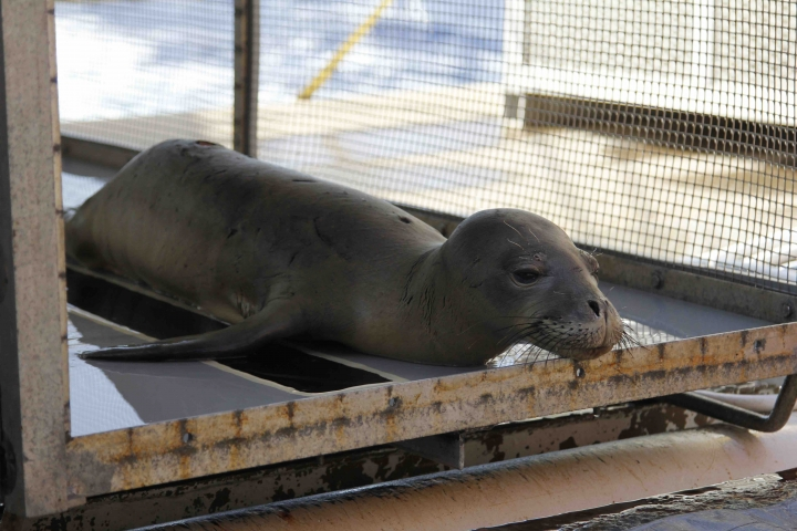 This August 2016 photo provided by the National Marine Fisheries Service shows a prematurely weaned Hawaiian monk seal pup resting on board the research vessel Oscar Elton Sette in Kailua-Kona, Hawaii. Federal wildlife biologists are taking four malnourished Hawaiian monk seals to the Big Island's monk seal hospital. (National Marine Fisheries Service via AP)