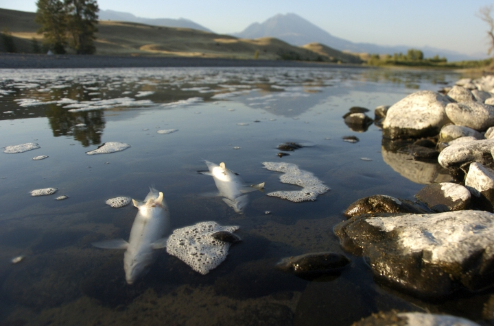 FILE--In this Aug. 21, 2016 file photo, dead whitefish float in the Yellowstone River near Emigrant, Mont. Montana re-opened portions of the Yellowstone River Thursday, Sept. 1, but is keeping a popular stretch closed due to a fish-killing parasite. (AP Photo/Matthew Brown, file)