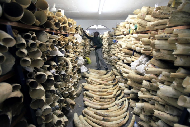 FILE - In this June 2, 2016 file photo, a Zimbabwe National Parks official inspects the stock during a tour of the country's ivory stockpile at the Zimbabwe National Parks Headquarters in Harare. The international community is coming together to address global warming, wildlife trafficking and environmental conservation at the World Conservation Congress in Hawaii. The start of the International Coalition for the Conservation of Nature World Conservation Congress, which is being held in the U.S. for the first time, began Thursday, Sept. 1, 2016 with a Native Hawaiian ceremony. (AP Photo/Tsvangirayi Mukwazhi, File)