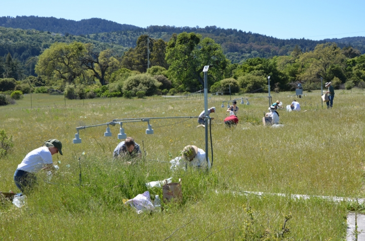 In this photo provided by Stanford University, participants in the Jasper Ridge Global Change Experiment sampled plots of the grassland ecosystem for 17 years. For 17 years with experiments on more than one million plants, scientists put future global warming to a real world test, growing California flowers and grasslands with extra heat, carbon dioxide and nitrogen to simulate a not-so-distant future. The results contradict a common talking point by people who downplay the threat of global warming and reject the science. (Nona Chiariello/Stanford University via AP)