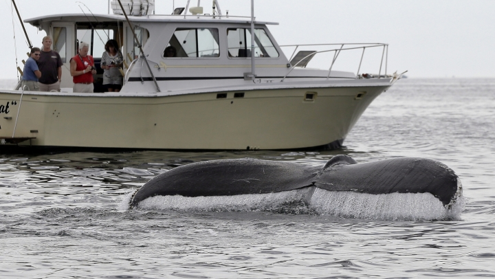 In this August 25, 2012 photo, boaters watch a humpback whale breach off the coast of Gloucester, Mass. Federal authorities are taking most humpback whales off the endangered species list. The National Marine Fisheries Service said Monday, Sept. 5, 2016 that nine of the 14 distinct populations of humpbacks have recovered enough in the last 40 years to warrant being removed from the endangered list. (AP Photo/Elise Amendola)