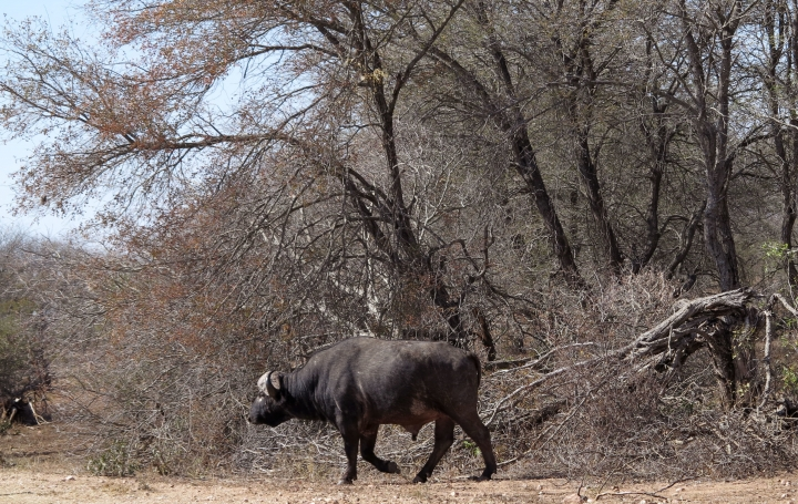 In this photo taken on Thursday, July 21, 2016, a a water buffalo walks in the Kruger National Park, South Africa. Rangers in South Africa's biggest wildlife park are killing about 350 hippos and buffalos in an attempt to relieve the impact of a severe drought. (AP Photo/Dolf van Zuydam)