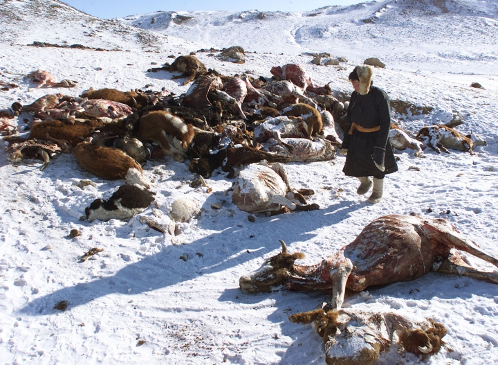 In this file photo taken February 7, 2001, a herder walks past a pile of dead animals in the hills of Hentii province after a severe snowstorm, also known as a Dzud, in Mongolia. Another unusually harsh winter in Mongolia that's decimating livestock and sending temperatures to minus 56 degrees Celsius (minus 70 Fahrenheit) may create a humanitarian crisis, with worse conditions still to come, aid groups warn. (AP Photo/Greg Baker, File)