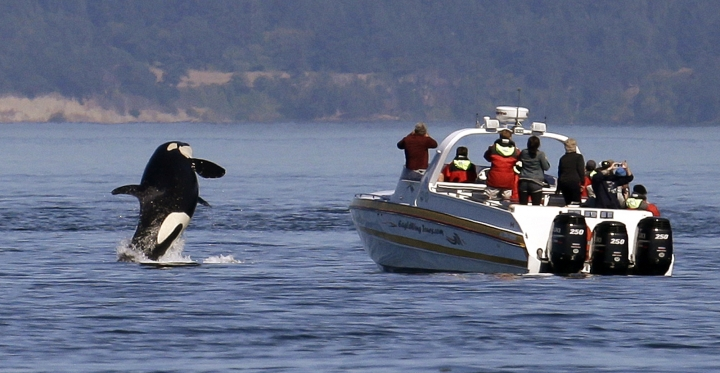 FILE -- In this photo taken July 31, 2015, an orca whale leaps out of the water near a whale watching boat in the Salish Sea in the San Juan Islands, Wash. The federal government is considering a petition that calls for a whale protection zone on the west side of Washington's San Juan Island. Three groups have asked NOAA Fisheries to establish an area that would restrict most motorized vessels in order to protect endangered southern resident killer whales from noise and other disturbances. (AP Photo/Elaine Thompson, File)