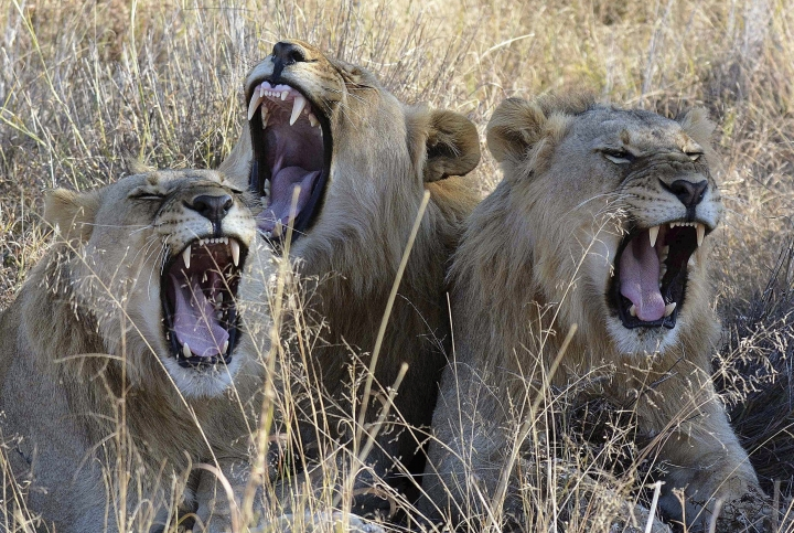 FILE- In this file photo taken June 15, 2014, lions yawn in the Madikwe Game Reserve, South Africa. A report from Mozambique's Niassa National Reserve released Saturday Feb. 4, 2017, raises concerns that the legal export of bones from hundreds of captive-bred lions in South Africa to China and Southeast Asia could spur the market offering high rewards from traffickers for full lion carcasses. (AP Photo/Kevin Anderson, FILE)
