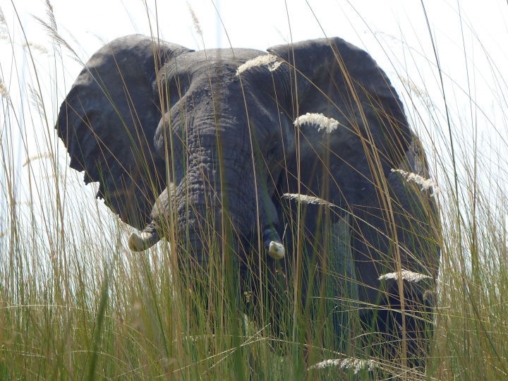 In this Sept. 5, 2016 photo, an elephant, in Botswana's Okavango Delta, allowed viewers a close approach via a boat drifting quietly through tall grass. Specialized photo safaris provide wildlife and cultural access you're not likely to get on your own. (Dean Fosdick via AP)