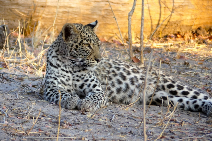 This Aug. 28, 2016 photo taken in Botswana's Linyanti Private Reserve shows a young leopard laying in the shade of some thorny acacia branches. These cats are elusive and mostly nocturnal. Its kills — usually medium-sized antelope — are usually stored and consumed in trees to avoid competition with other meat-eaters. The big-game country of Botswana's Linyanti reserve is home to leopard, lion, spotted hyena and wild dog as well as elephant. (Dean Fosdick via AP)