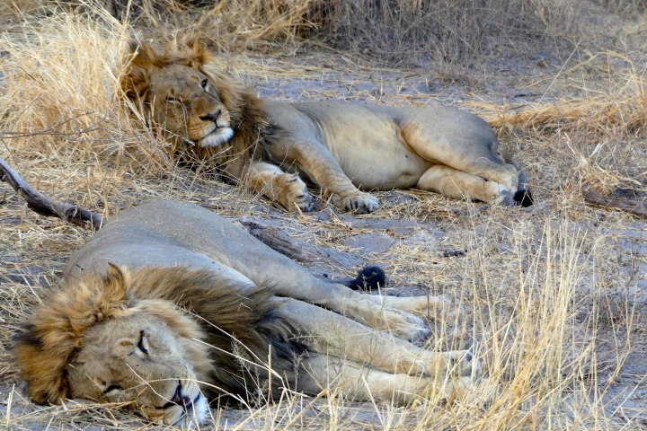 "This Sept. 1, 2016 photo taken from a safari vehicle parked along the edge of Botswana's Moremi Game Reserve shows a pair of male lions stretched out for a nap in the shade. Photo tours travel when lighting is at its best, during the ""golden hours"" of early morning and late afternoon. Botswana's grasslands attract many species of plains animals like this pair of male lions, basking in the shade. (Dean Fosdick via AP)"