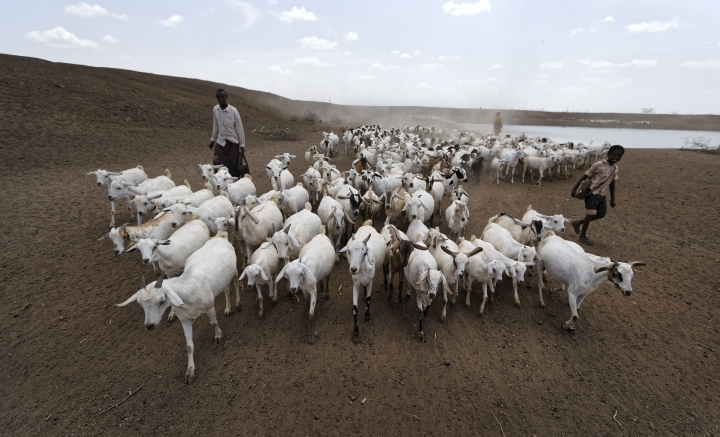 "A herder drives his animals away after watering them at one of the few watering holes in the area, near the drought-affected village of Bandarero, near Moyale town on the Ethiopian border, in northern Kenya, Friday, March 3, 2017. The U.N. humanitarian chief, Stephen O'Brien, toured Bandarero village on Friday and called on the international community to act to ""avert the very worst of the effects of drought and to avert a famine to make sure we don't go from what is deep suffering to a catastrophe."" (AP Photo/Ben Curtis)"