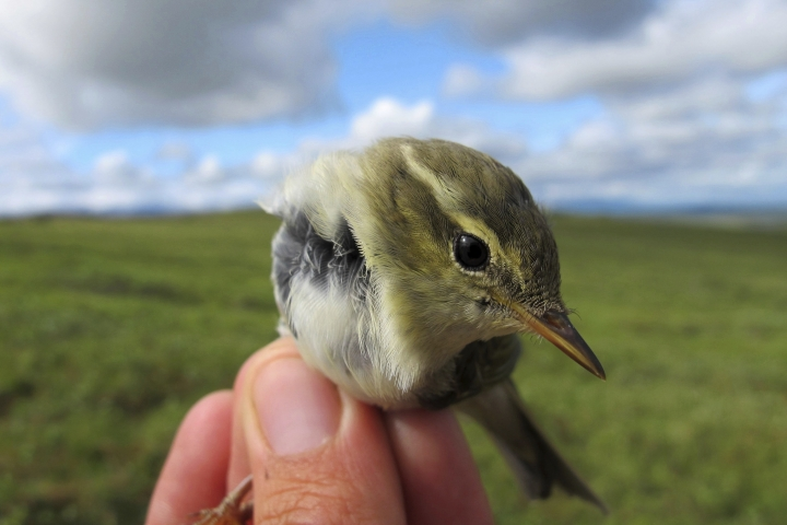 This July 16, 2016 photo provided by the U.S. Geological Survey shows an Arctic Warbler in Nome, Alaska. Growth of shrubs on Arctic tundra as the climate warms will have a mixed effect on breeding birds, federal researchers have concluded. Shrub density is not expected to harm species, but as shrubs grow taller, many bird species likely will find the habitat unsuitable, according to U.S. Geological Survey researchers. (Rachel M. Richardson/U.S. Geological Survey via AP)