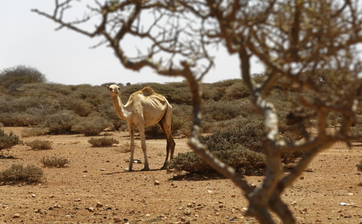 In this photo taken Tuesday, March 7, 2017, a visibly thin camel is seen in the desert near Eyl in Somalia's semiautonomous northeastern state of Puntland. Somalia has declared the drought a national disaster, part of what the United Nations calls the largest humanitarian crisis since the world body was founded in 1945, and with animals being central to many the drought threatens their main sources of nutrition and survival. (AP Photo/Ben Curtis)