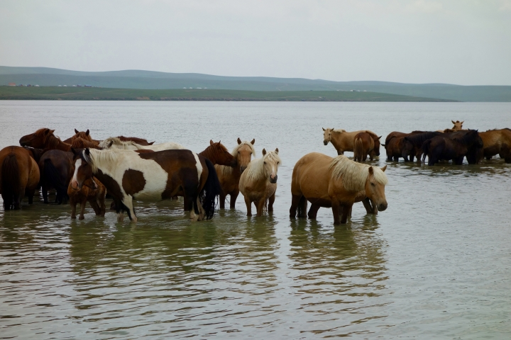 This July 7, 2016 photo shows a group of horses in Ogii Lake in the Arkhangai province, Mongolia. (AP Photo/Nicole Evatt)