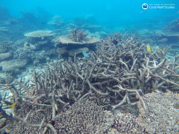 In this November 2016 photo provided by ARC Center of Excellence for Coral Reef Studies, dead staghorn coral killed by bleaching appears drab on the northern Great Barrier Reef, Australia. Reducing pollution and curbing overfishing won't prevent the severe bleaching that is killing coral at catastrophic rates, according to a study of Australia's Great Barrier Reef. In the end, researchers said, the only way to save the world's coral from heat-induced bleaching is with a war on global warming. (Greg Torda/ARC Center of Excellence via AP)