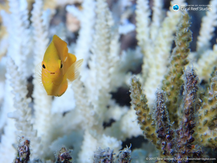 In this undated photo provided by ARC Center of Excellence for Coral Reef Studies, fish swims around healthy coral on the Great Barrier Reef, Australia. Reducing pollution and curbing overfishing won't prevent the severe bleaching that is killing coral at catastrophic rates, according to a study of Australia's Great Barrier Reef. In the end, researchers said, the only way to save the world's coral from heat-induced bleaching is with a war on global warming. (Tane Sinclair-Taylor/ARC Center of Excellence via AP)