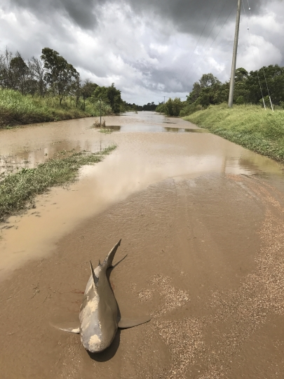 In this March 30, 2017 photo provided by Queensland state paramedic Lisa Smith, a shark is seen stranded in floodwaters in Ayr, northeastern Australia. A powerful cyclone that tore through Australia's tropical northeast has left the ground littered with battered trees, ripped-up roofs - and one very unlucky shark. Smith said she was assessing the extent of flooding on Thursday on Rita Island, a coastal community near the town of Ayr that was lashed by Cyclone Debbie earlier this week. As she was approaching the edge of some receding floodwaters, she spotted an unusual sight on the ground: a bull shark.(Lisa Smith via AP)