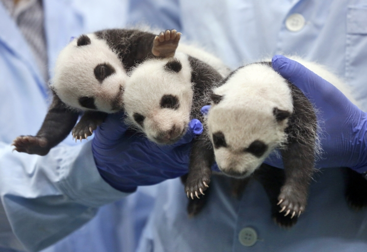 FILE - In this Aug. 28, 2014, file photo, one-month-old triplet panda cubs receive body checks at the Chimelong Safari Park in Guangzhou in south China's Guangdong province when China announced the birth of extremely rare panda triplets in another success for the country's artificial breeding program. China is planning to create a preserve for the giant panda that will be three times the size of Yellowstone National Park in the western U.S. The Xinhua News Agency says the panda preserve will incorporate parts of three western provinces to provide an unbroken range for the endangered animals in which they can meet and mate in the interests of enriching their gene pool. (AP Photo/Kin Cheung, File)