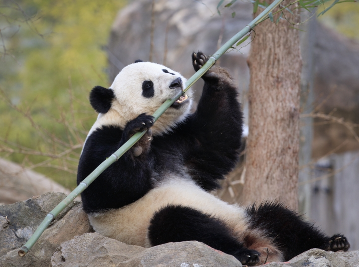 FILE - In this Feb. 21, 2017, file photo, Bao Bao, the beloved 3-year-old panda at the National Zoo in Washington, enjoys a final morning in her bamboo-filled habitat before her one-way flight to China to join a panda breeding program. China is planning to create a preserve for the giant panda that will be three times the size of Yellowstone National Park in the western U.S. The Xinhua News Agency says the panda preserve will incorporate parts of three western provinces to provide an unbroken range for the endangered animals in which they can meet and mate in the interests of enriching their gene pool. (AP Photo/J. Scott Applewhite, File)