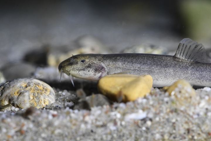 In this March 15, 2017 photo a cave fish swims in an aquarium at the University of Constance, Germany. A German man who goes underground diving for a hobby has discovered what scientists say is Europe's first known cave fish. In an article published Monday April 3, 2017 in the journal Current Biology, scientists from the University of Constance who studied the fish concluded that it is a genetically distinct species. (Felix Kaestle/dpa via AP)