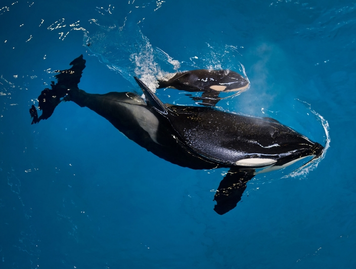 In this image provided by SeaWorld Parks & Entertainment orca Takara helps guide her newborn to the water's surface at SeaWorld San Antonio, Wednesday, April 19, 2017, in San Antonio. The company based in Orlando, Fla., announced the birth Wednesday. (Chris Gotshall/SeaWorld Parks & Entertainment via AP)
