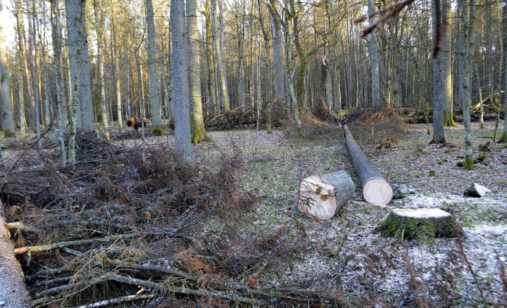 In this file photo taken March 24 , 2017 in the Bialowieza Forest, in Poland, a bison stands near a place where fir trees have been logged. Some 230 writers and artists have written to Poland's President Andrzej Duda and Prime Minister Beata Szydlo to stop the logging at Europe's last primeval forest that is protected as UNESCO world heritage site. (AP Photo/Adam Bohdan)