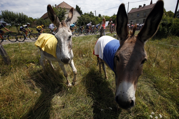 The pack rides past donkeys dressed with Yellow jersey and French flag during the eighth stage of the Tour de France cycling race over 187.5 kilometers (116.5 miles) with start in Dole and finish in Station des Rousses, France, Saturday, July 8, 2017. (AP Photo/Peter Dejong)