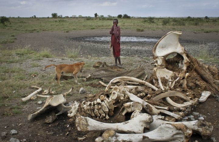 FILE - In this Wednesday, Feb. 13, 2013 file photo, a Maasai boy and his dog stand near the skeleton of an elephant killed by poachers outside of Arusha, Tanzania. A Tanzanian poacher who was a subject of a documentary co-produced by Leonardo DiCaprio was acquitted Wednesday, July 26, 2017 of several wildlife trafficking charges, though he is in prison for a related crime. (AP Photo/Jason Straziuso, File)