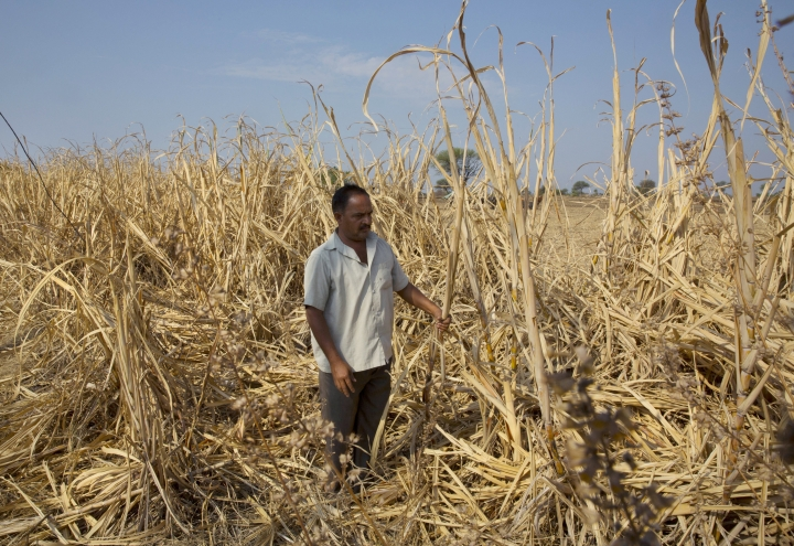FILE- In this May 11, 2016 file photo, Indian farmer Anant More inspects his destroyed crop of sugarcane due to drought in Marathwada region, in the Indian state of Maharashtra. Researchers report a link between crop-damaging temperatures and suicide rates in India, where more than 130,000 farmers end their lives every year. (AP Photo/Manish Swarup, File)