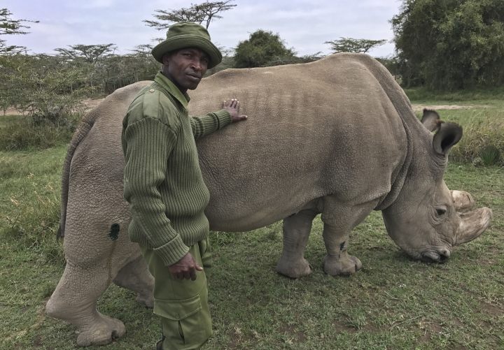 In this photo taken Friday, July 28, 2017, wildlife ranger Zachariah Mutai takes care of Sudan, the world's last male northern white rhino, at the Ol Pejeta Conservancy in Laikipia county in Kenya. Farms and houses in Laikipia have been under siege by semi-nomadic herders and burned-out homes in this dry landscape have become a symbol of the tensions around the presidential election on Aug. 8 as Kenyans prepare for the possibility of yet more deadly violence. (AP Photo/Joe Mwihia)