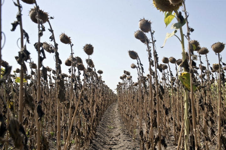 Sunflowers decimated by drought are seen in a field in Padina, Serbia, Thursday, Aug. 10, 2017. Authorities and experts are warning that extremely hot and dry summer this year in the Balkans has decimated crops, dried rivers and hurt the animal world. (AP Photo/Marko Drobnjakovic)