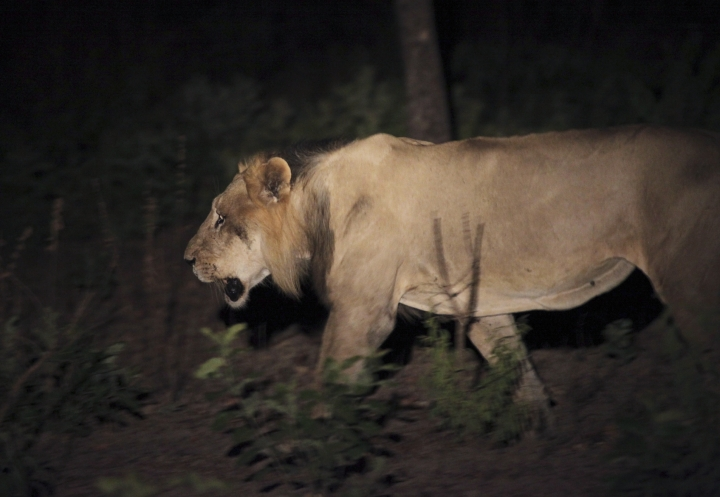This photo taken on Sunday, April 3, 2011 and released by Panthera shows an adult male lion during a joint Panthera/DPN (Direction des Parcs Nationaux) lion survey in Niokolo-Koba National Park in south eastern Senegal. Senegal's Niokolo-Koba National Park is home to fewer than 50 lions after years of poaching decimated not only them but also their prey. Conservationists are launching a new fund they hope will save lions from going extinct, particularly in West Africa. Only about 400 lions remain in the region out of the total 20,000 worldwide. The Lion Recovery Fund is getting startup contributions from the Leonardo DiCaprio Foundation. (Philipp Henschel/Panthera via AP)