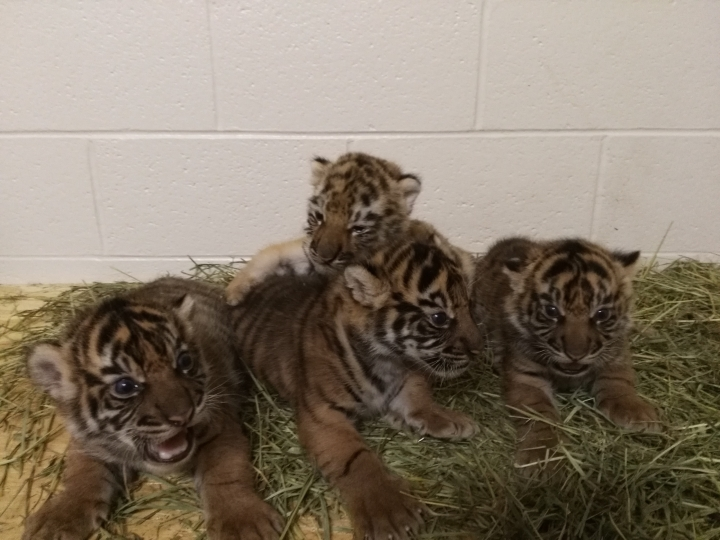 """In this undated photo provided by the OKC Zoo, Zoya, top center, lies with other cubs at the Zoo's Cat Forest habitatin Oklahoma City, Okla. Zoya, a tiger cub moved to the Oklahoma City Zoo after being rejected by her mother, can now be seen bonding with her siblings and adoptive mother on live-streaming video. The zoo on Thursday, Aug. 10, 2017, launched its online """"Tiger Cub Cam"""" for to offer a 24/7 look at mom Lola and her four growing cubs – Eko, Ramah, Gusti and the adopted daughter, Zoya.(Trisha McDonald/OKC Zoo via AP)"""