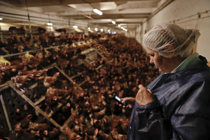 Food safety expert Aurora Alexandru checks her phone at a chicken farm in Gaesti, southern Romania, Friday, Aug. 11, 2017. The European Union said Friday that it plans to hold an extraordinary meeting late next month over a growing tainted egg scandal as it revealed that products contaminated with an insecticide have now spread to 17 countries. (AP Photo/Vadim Ghirda)