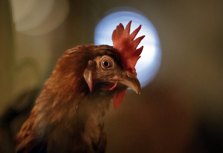 A chicken sits in an enclosure at a chicken farm in Gaesti, southern Romania, Friday, Aug. 11, 2017. The European Union said Friday that it plans to hold an extraordinary meeting late next month over a growing tainted egg scandal as it revealed that products contaminated with an insecticide have now spread to 17 countries.(AP Photo/Vadim Ghirda)