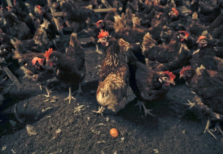 An egg lies on the ground at a chicken farm in Gaesti, southern Romania, Friday, Aug. 11, 2017. The European Union said Friday that it plans to hold an extraordinary meeting late next month over a growing tainted egg scandal as it revealed that products contaminated with an insecticide have now spread to 17 countries. (AP Photo/Vadim Ghirda)