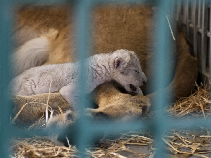 "In this Saturday, Aug. 12, 2017 photo, a lion rescued from a zoo in the war-torn Syrian city of Aleppo cuddles her newborn cub in the Ma'wa Wildlife Reserve in northern Jordan. The odds had been stacked against ""Hajar,"" a lion cub born just hours after her mother Dana, rescued from a zoo in war-torn Syrian, was released into a wildlife reserve in Jordan. Dana and 12 other animals, including four other lions and two tigers, had barely survived under harsh conditions in the Syrian city of Aleppo, once a major battle ground. (Four Paws/Ahu Savan An, via AP)."