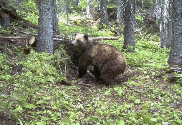 FILE - This June 20, 2014 file photo taken by an automatic trail camera provided by the U.S. Fish and Wildlife Service shows an adult female grizzly bear in the Cabinet Mountains in northwest Montana near Canada. A federal judge ruled Monday, Aug. 21, 2017 that the small population of grizzly bears in Montana and Idaho near the Canadian border can be considered endangered even if they are not on the brink of extinction. U.S. District Judge Dana Christensen's order reversed the 2014 re-classification by U.S. wildlife officials for 40 to 50 bears of the Cabinet-Yaak bear population under the federal Endangered Species Act. (U.S. Fish and Wildlife Service via AP, File)