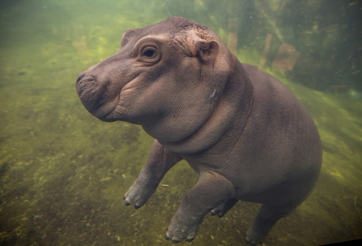 "FILE - In this May 31, 2017 file photo, Fiona makes her debut to the media in Hippo Cove at the Cincinnati Zoo and Botanical Garden, in Cincinnati. The zoo says its popular baby hippo will star in an internet video series called ""The Fiona Show"" starting next week. The zoo says the first video will be available on the show's Facebook page on Tuesday, Aug. 29. It's not clear how many videos are planned or how regularly they will be produced.. (Liz Dufour/The Cincinnati Enquirer via AP, File)"