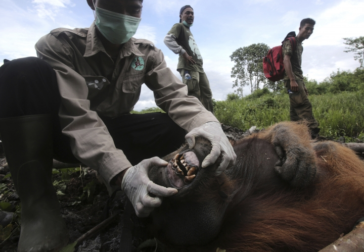 "In this Thursday, Aug. 10, 2017 photo, a veterinarian of Sumatran Orangutan Conservation Program (SOCP) Pandu Wibisono examines a tranquilized male orangutan being rescued from a forest located too close to a palm oil plantation at Tripa peat swamp in Aceh province, Indonesia. Conservationists relocated the orangutan they named ""Black"" to a reintroduction center in Jantho, Aceh Besar, where he will join about 100 other primates that have been released in the jungle there to establish a new wild population. (AP Photo/Binsar Bakkara)"