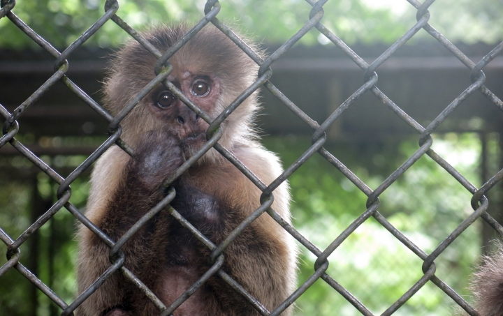 FILE - In this July 7, 2017 file photo, a monkey stares out from its enclosure at the Dr. Juan A. Rivero Zoo in Mayaguez, Puerto Rico. Puerto Rico's governor said Monday, Aug. 28, 2017 he is evaluating whether to close the island's only zoo as he announced some animals will be transferred elsewhere following concerns for their wellbeing amid an economic crisis, and after a puma died over the weekend. (AP Photo/Danica Coto, File)