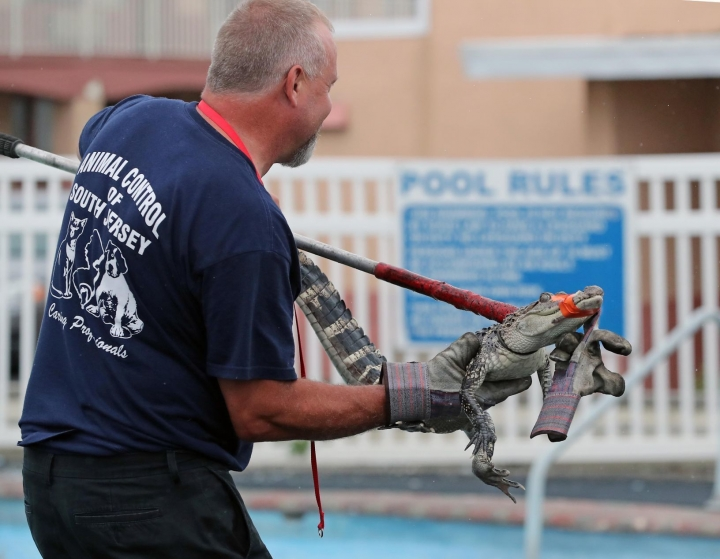 FILE - In this Aug. 15, 2017 file photo, Sam Holland, of Animal Control of South Jersey, captures a 4-foot alligator that was in the outdoor pool of Bayview Inn & Suites, in Atlantic City, NJ. Authorities say the 3-foot-long (0.91-meter-long) alligator found at the Bayview Inn & Suites in Atlantic City was part of a rap video filmed there by two men. The alligator was found when police conducted a raid at the site. Items found during the raid led to the arrest Tuesday, Aug. 29, of the two men on armed robbery charges. (Craig Matthews/The Press of Atlantic City via AP)
