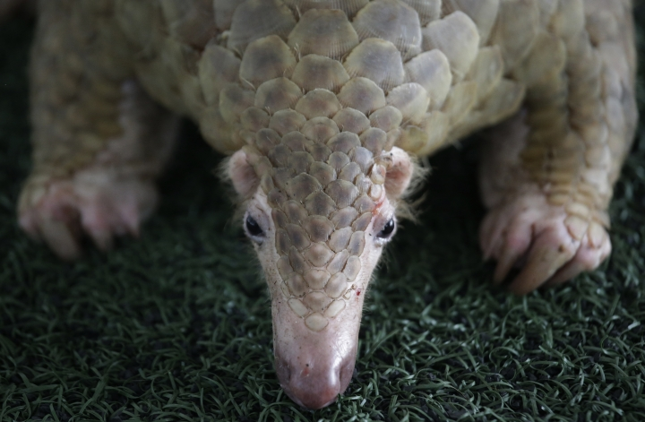 A Thai customs official displays one of 136 pangolins and 450 kgs. (992 lbs.) of pangolin scales it seized, estimated to be worth over 2.5 million baht (USD$75,278) during a press conference at the Customs Department headquarters in Bangkok, Thailand, Thursday, Aug. 31, 2017. Officials received a tip-off that there would be an attempt to smuggle pangolins from Malaysia. (AP Photo/Sakchai Lalit)