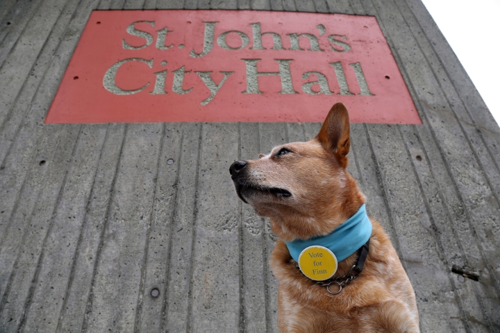 Finn, a five-year-old Australian cattle dog, poses in front of city hall in St.John's, Newfoundland, Canada, Tuesday, Sept.12, 2017. A celebrity candidate has entered the mayoral race in St. John's, one with fur and four legs. Finn is featured in a tongue-in-cheek, campaign-style YouTube video that has been making the rounds on social media. (Paul Daly/The Canadian Press via AP)