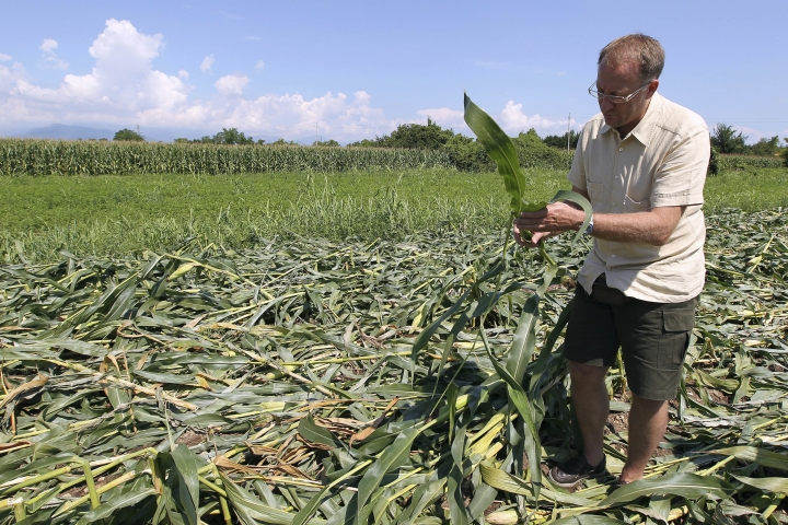 FILE - In this Tuesday, Aug. 10, 2010 file photo Giorgio Fidenato inspects genetically modified yellow corn on his land in Pordenone, northern Italy. The European Union Court of Justice has ruled Wednesday Sept. 13, 2017, in favor of Italian activist farmer Fidenato, saying Italy had no right to ban GMO crops given that there is no scientific evidence they are hazardous.(AP Photo/Paolo Giovannini, FILE)