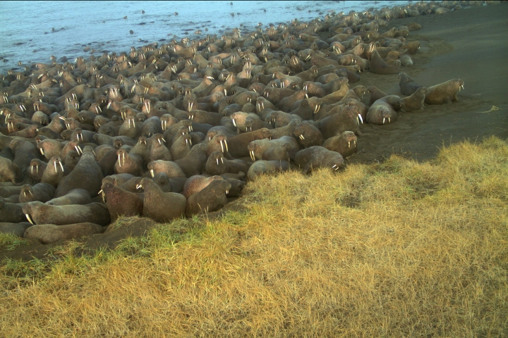 ADDS IMAGE WAS MADE FROM UNMANNED REMOTE CAMERA - In this Sept. 7, 2015, photo from an unmanned remote camera and provided by U.S. Fish and Wildlife walruses lay on the beach at Point Lay, Alaska. The U.S. Fish and Wildlife Service says 64 walruses died on the northwest Alaska beach and the animals may have been killed in stampedes. (U.S. Fish and Wildlife via AP)