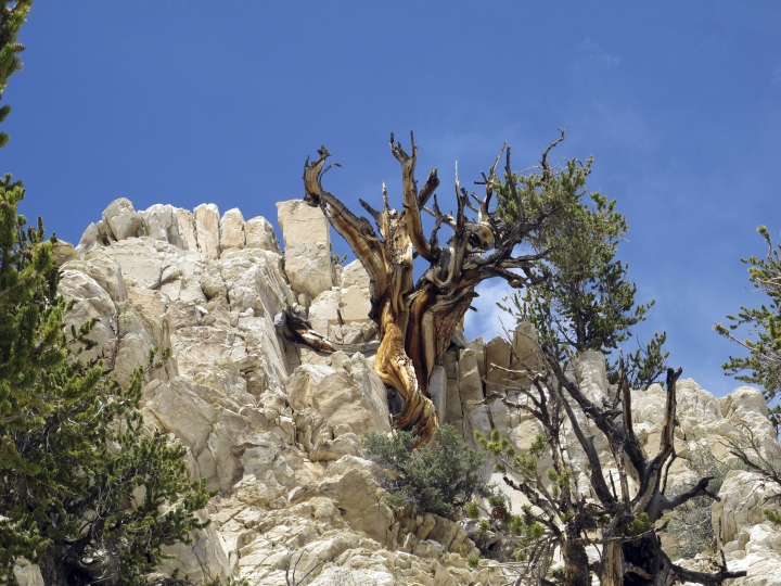 CORRECTS TO REMOVE REFERENCE TO DEAD TREES- This June 21, 2014, photo provided by Brian Smithers shows gnarled, bristlecone pine trees at Methuselah Grove in the White Mountains east of Bishop, Calif. The bristlecone pine, a wind-beaten tree famous for its gnarly limbs and having the longest lifespan on Earth, is losing a race to the top of mountains throughout the Western United States, putting future generations in peril, researchers said Wednesday, Sept. 13, 2017. (Brian Smithers/University of California, Davis via AP)